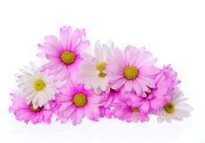 Flores cor-de-rosa isoladas, ramalhete do crisântemo imagem de stock