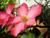 Flores cor-de-rosa luxúrias Imagem de Stock