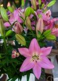 Flores cor-de-rosa macias bonitas do lírio, formas incomuns que crescem no jardim fotos de stock