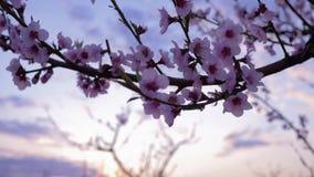 Flores cor-de-rosa macias bonitas em um close-up da árvore de fruto do abricó no jardim video estoque