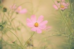 Flores cor-de-rosa macias no fundo da cor Fotos de Stock Royalty Free