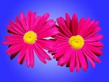 Flores cor-de-rosa muito brilhantes fotografia de stock