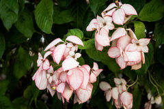 Flores cor-de-rosa na árvore; fundo das flores da natureza da primavera Foto de Stock