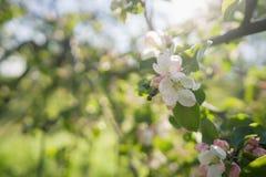 Flores cor-de-rosa na árvore de maçã no dia de verão morno foto de stock