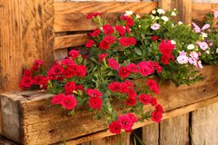 Flores cor-de-rosa na calha fixada na parede feito a mão Imagens de Stock