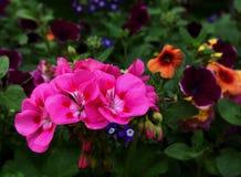 Flores cor-de-rosa na flor Imagem de Stock Royalty Free