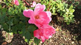 Flores cor-de-rosa na flor Foto de Stock Royalty Free