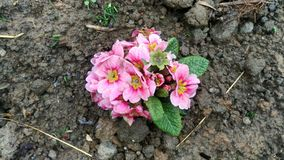 Flores cor-de-rosa na flor do jardim na manhã Imagem de Stock