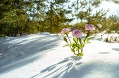 Flores cor-de-rosa na floresta do inverno Imagens de Stock Royalty Free