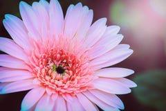 Flores cor-de-rosa na luz do sol Fotos de Stock Royalty Free