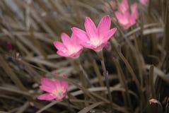Flores cor-de-rosa na natureza verde Foto de Stock Royalty Free