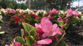 Flores cor-de-rosa na rua exterior video estoque