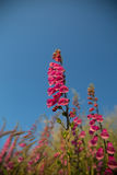 Flores cor-de-rosa no céu azul Fotos de Stock