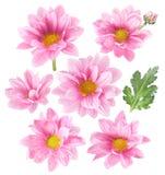 Flores cor-de-rosa no fundo branco Fotografia de Stock Royalty Free