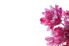 Flores cor-de-rosa no fundo branco Imagens de Stock