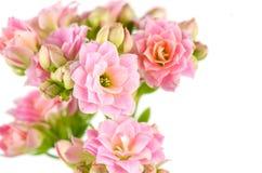 Flores cor-de-rosa no fundo branco, blossfeldiana de Kalanchoe Imagens de Stock