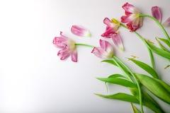 Flores cor-de-rosa no fundo branco Copie o espaço para o texto Tulipas da mola Fotos de Stock Royalty Free