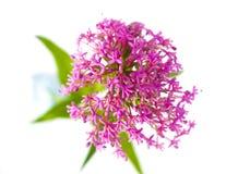 Flores cor-de-rosa no fundo do branco da haste Imagens de Stock Royalty Free
