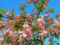 Flores cor-de-rosa no fundo do céu azul Imagem de Stock Royalty Free
