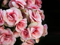 Flores cor-de-rosa no fundo preto Fotografia de Stock Royalty Free