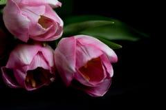 Flores cor-de-rosa no fundo preto Cópia do espaço Tulipas Imagem de Stock