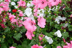 Flores cor-de-rosa no jardim Fotos de Stock Royalty Free