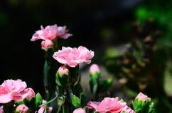 flores cor-de-rosa no jardim Fotografia de Stock