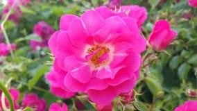 Flores cor-de-rosa no jardim fotografia de stock royalty free