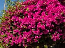 Flores cor-de-rosa no jardim da casa de Ásia foto de stock royalty free
