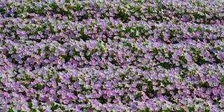 Flores cor-de-rosa no parque da flor de Ashikaga foto de stock