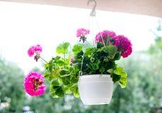 Flores cor-de-rosa no potenciômetro de flor de suspensão branco Fotografia de Stock