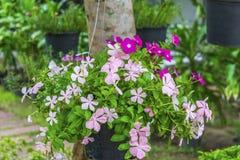 Flores cor-de-rosa no potenciômetro de suspensão em uma árvore Foto de Stock Royalty Free