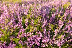 Flores cor-de-rosa no prado Fotografia de Stock