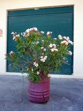 Flores cor-de-rosa no tambor roxo Foto de Stock Royalty Free