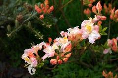 Flores cor-de-rosa nos ramos do rododendro decíduo Foto de Stock Royalty Free