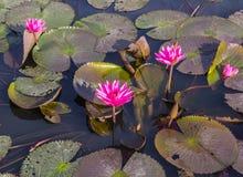Flores cor-de-rosa ou vermelhas dos lótus Imagem de Stock Royalty Free