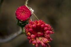 Flores cor-de-rosa pequenas com erros amarelos para dentro Imagens de Stock