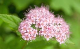 Flores cor-de-rosa pequenas com fluff imagens de stock royalty free