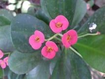 4 flores cor-de-rosa pequenas com folhas verdes Fotografia de Stock Royalty Free