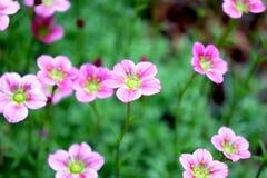 Flores cor-de-rosa pequenas em maio foto de stock