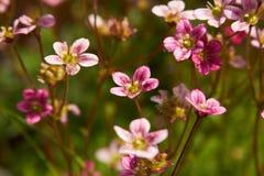 Flores cor-de-rosa pequenas - Saxifraga Fotografia de Stock