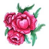 Flores cor-de-rosa pintados à mão da peônia da aquarela ilustração royalty free