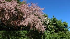 Flores cor-de-rosa que florescem com folhas verdes imagens de stock royalty free