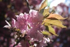 Flores cor-de-rosa retroiluminadas da árvore Foto de Stock