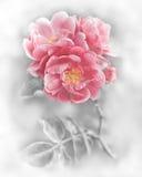 Flores cor-de-rosa românticas abstratas das rosas Fotografia de Stock Royalty Free