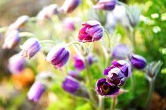 Flores cor-de-rosa de sakura na flor, detalhe fotografia de stock