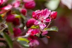 Flores cor-de-rosa saturadas da maçã com fundo borrado Imagem de Stock Royalty Free