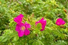 Flores cor-de-rosa selvagens roxas - canina de Rosa fotografia de stock royalty free