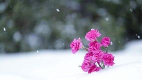 Flores cor-de-rosa surpreendentes no fundo da queda de neve Movimento lento filme