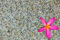 Flores cor-de-rosa tailandesas do plumeria com fundo da areia e da água fotografia de stock